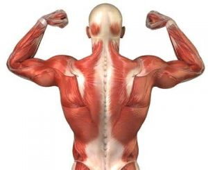 Male body musclesA Caregiver's Expert Advice on Body Mechanics and Transferring